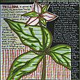 Trillium_a_genus
