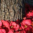 Bark + camellia