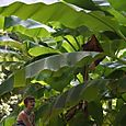 banana tree from Japan