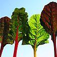 Swiss chard trees